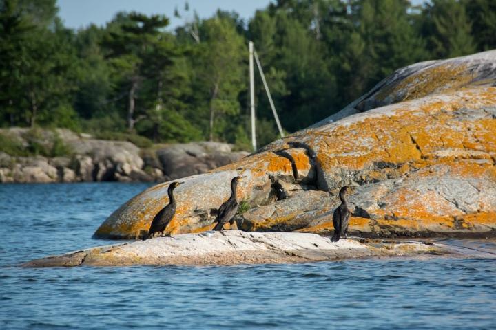 2014 07 NC Gwynne Bay Double-Crested Cormorant A sRGB