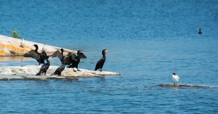 2014 07 NC Gwynne Bay Double-Crested Cormorants sRGB-107