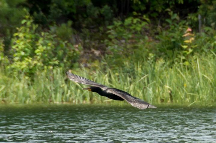 2014 07 NC Hotham Island Double-Crested Cormorant 1 sRGB