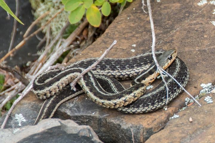 2014 07 NC Hotham Island Snake sRGB