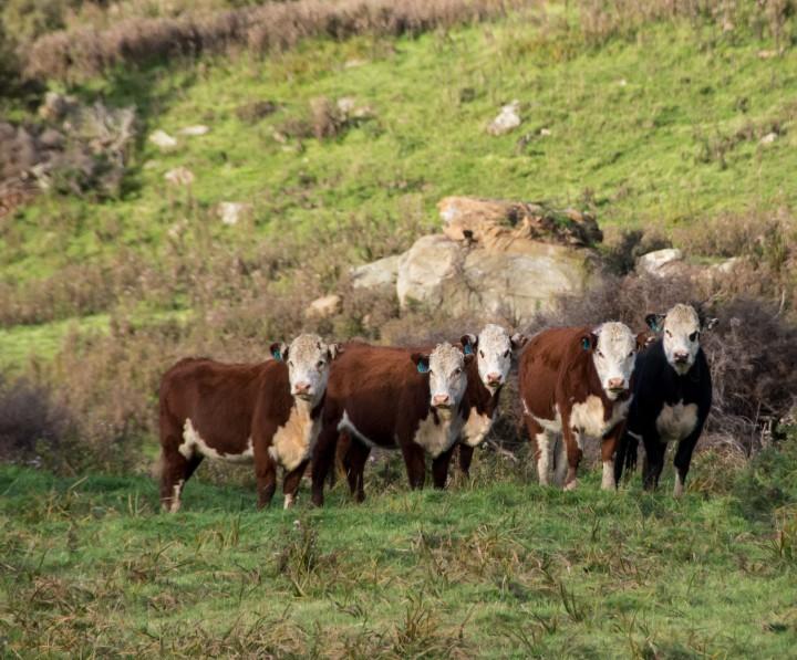 2016 04 19 Milford Rd Cows (110)