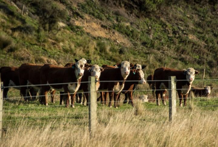 2016 04 19 Milford Rd Cows (132)