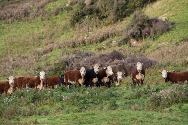 2016 04 19 Milford Rd Cows (148)
