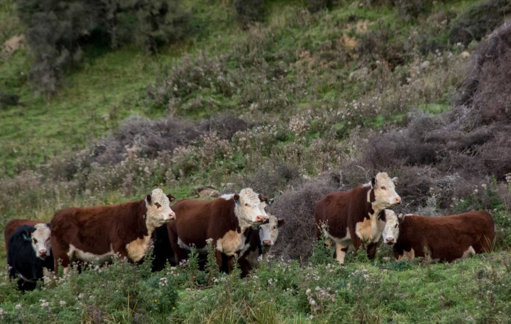 2016 04 19 Milford Rd Cows (155)