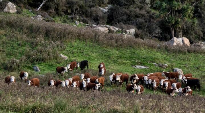 2016 04 19 Milford Rd Cows (161)