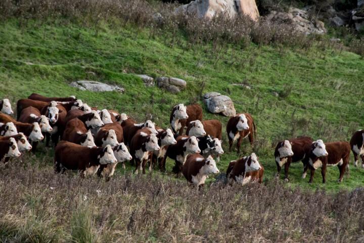 2016 04 19 Milford Rd Cows (167)