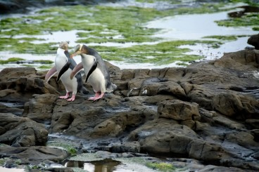 2016 04 23 Yellow Eyed Penquins Curio Bay (280)