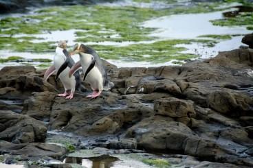 2016 04 23 Yellow Eyed Penquins Curio Bay (280)