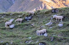 2016 04 28 Sheep and Cows Mt Aspiring Park (129)