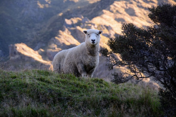 2016 04 28 Sheep and Cows Mt Aspiring Park (138)