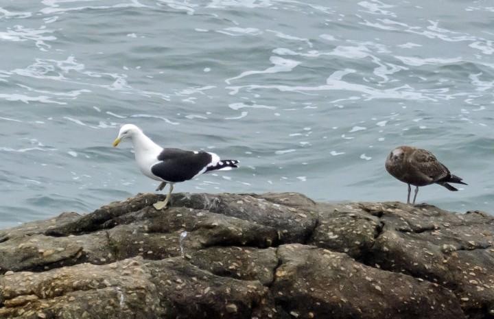 2016 05 01 Cape Foulwind Birds (532)