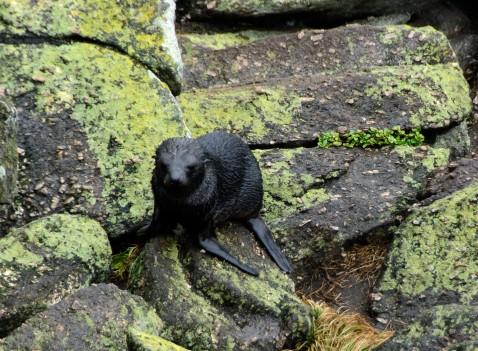 2016 05 01 Cape Foulwind Fur Seals (124)