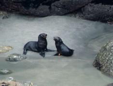 2016 05 01 Cape Foulwind Fur Seals (162)