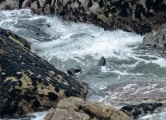 2016 05 01 Cape Foulwind Fur Seals (255)