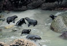 2016 05 01 Cape Foulwind Fur Seals (260)