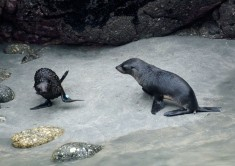 2016 05 01 Cape Foulwind Fur Seals (298)