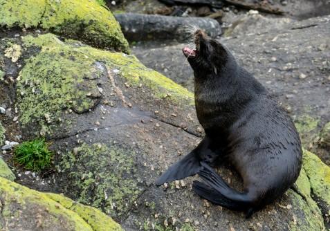 2016 05 01 Cape Foulwind Fur Seals (355)