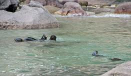2016 05 02 Abel Tasman Seal Pup Swim (102)