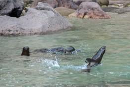 2016 05 02 Abel Tasman Seal Pup Swim (105)