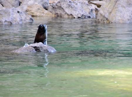 2016 05 02 Abel Tasman Seal Pup Swim (115)