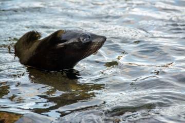 2016 05 02 Abel Tasman Seal Pup Swim (156)