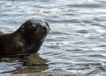 2016 05 02 Abel Tasman Seal Pup Swim (159)