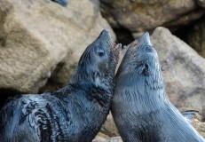 2016 05 02 Abel Tasman Seal Pup Swim (355)-2