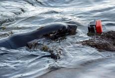 2016 05 02 Abel Tasman Seal Pup Swim (373)