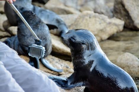 2016 05 02 Abel Tasman Seal Pup Swim (408)