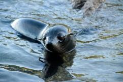 2016 05 02 Abel Tasman Seal Pup Swim (411)