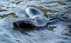 2016 05 02 Abel Tasman Seal Pup Swim (423)