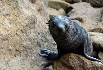 2016 05 02 Abel Tasman Seal Pup Swim (449)