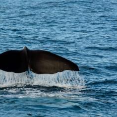 2016 05 05 Kaikoura Whales-228