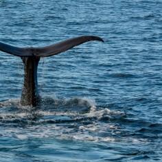 2016 05 05 Kaikoura Whales-230