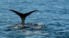 2016 05 05 Kaikoura Whales-231