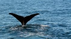 2016 05 05 Kaikoura Whales-232