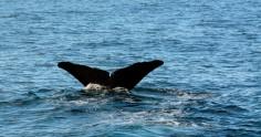 2016 05 05 Kaikoura Whales-233