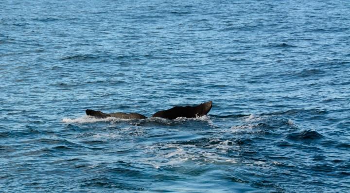 2016 05 05 Kaikoura Whales-234