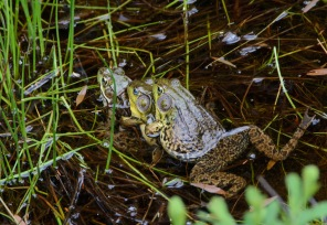 frog-trio