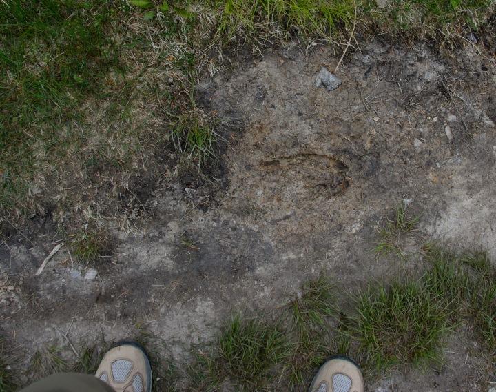 moose-track