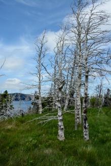east-coast-trail-trees