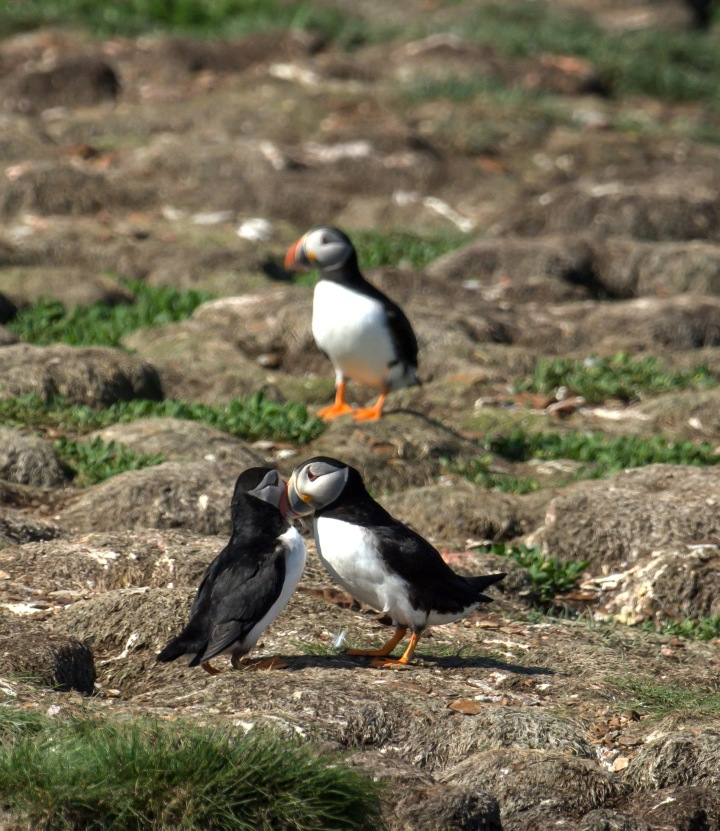 puffins-and-root-cellars-24-of-32