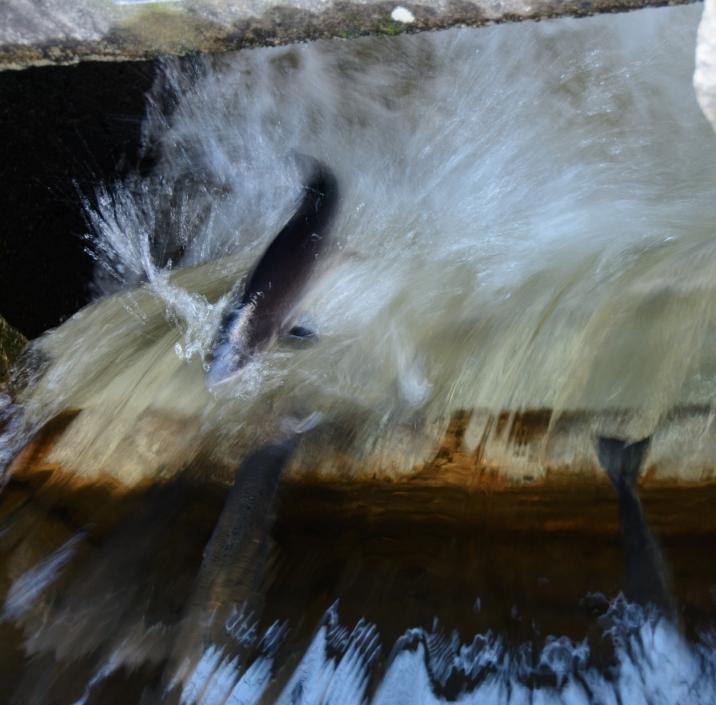 salmon-run-2126