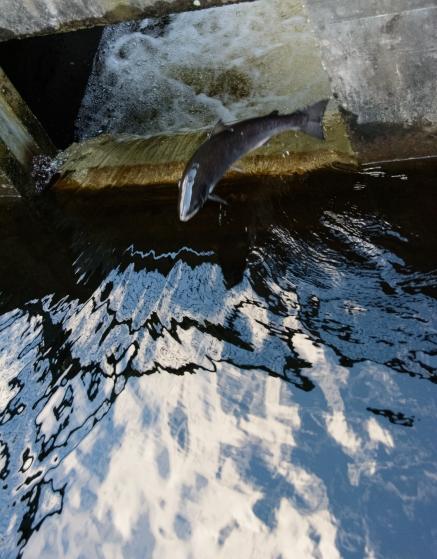 salmon-run-2171