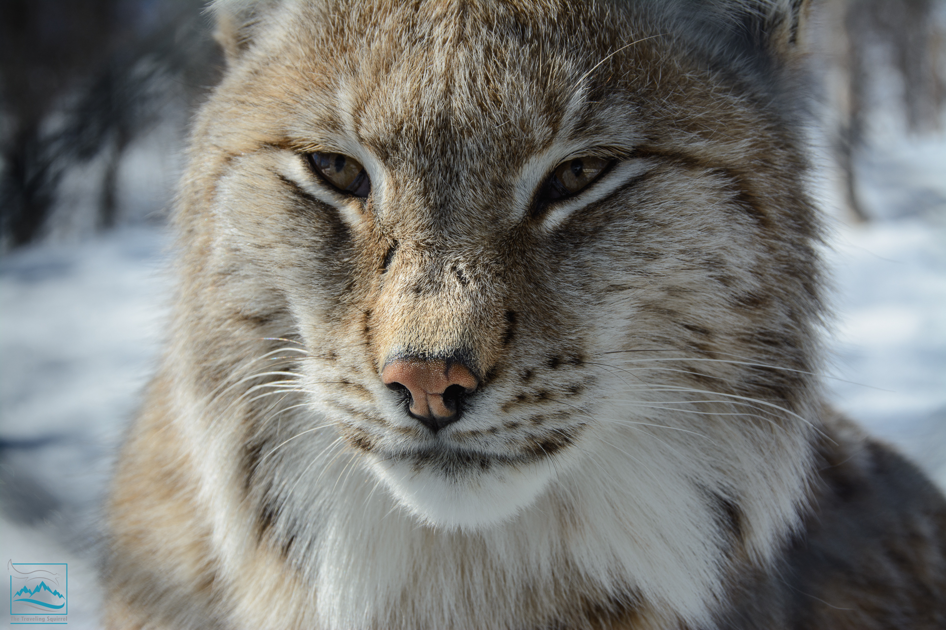 Norway 2017 Polar Park Lynx-146